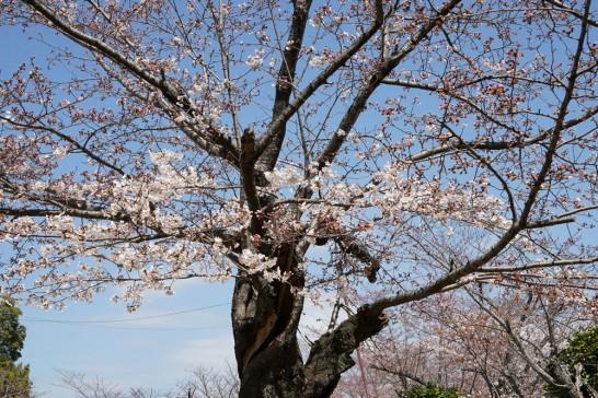 丸山公園の桜2