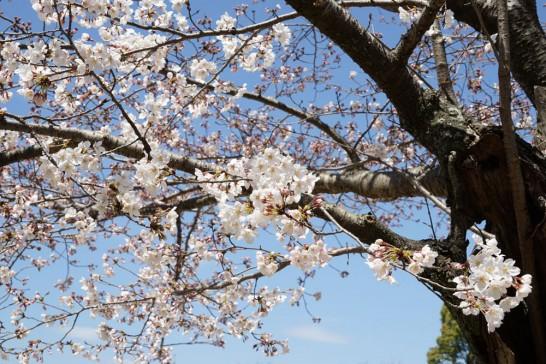 丸山公園の桜3