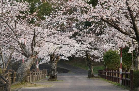 丸山公園桜満開