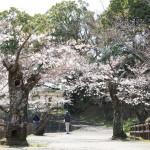 田川市丸山公園の桜(9)~田川地域情報