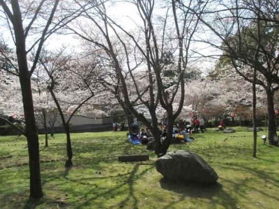 添田公園の桜の様子