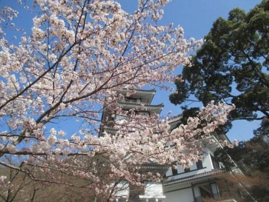 添田公園の桜情報