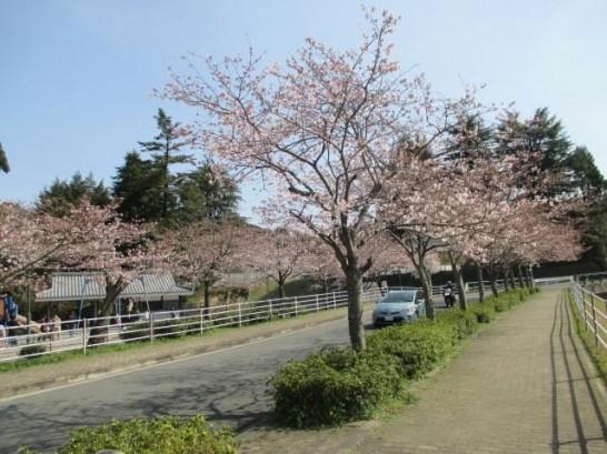 添田公園の桜