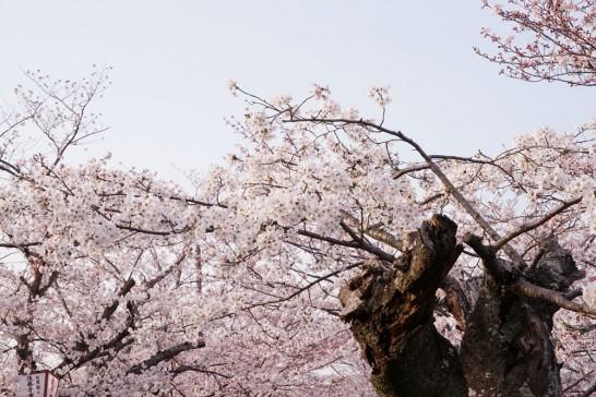 田川市丸山公園の桜