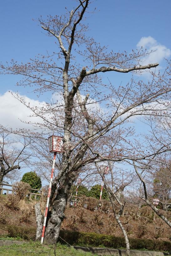 田川市丸山公園桜の開花