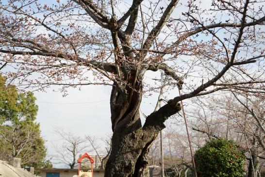 田川市丸山公園桜