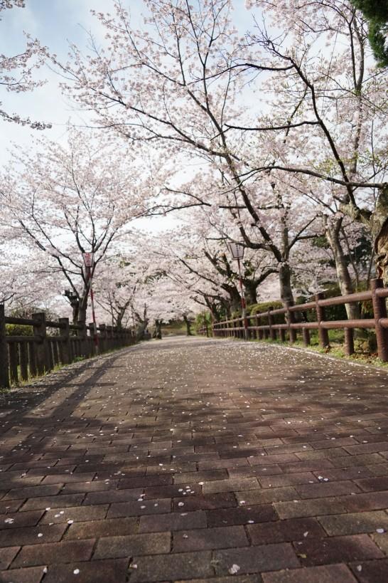 丸山公園の桜