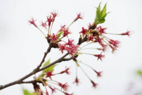 丸山公園桜の終わり