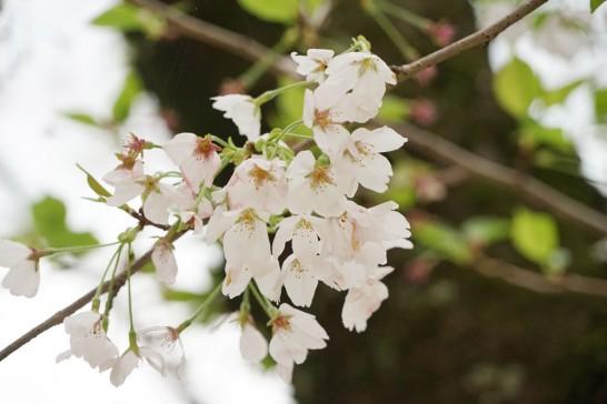 田川市の桜