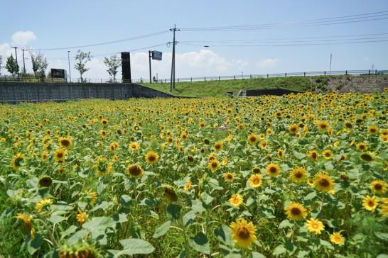田川郡大任町ひまわり-15