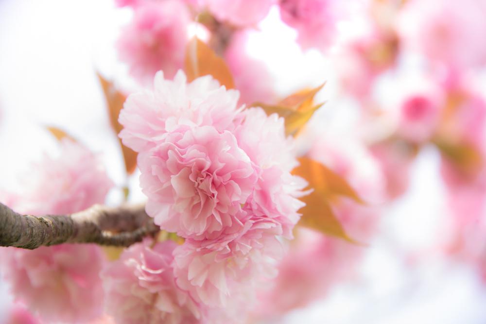 八重桜--4